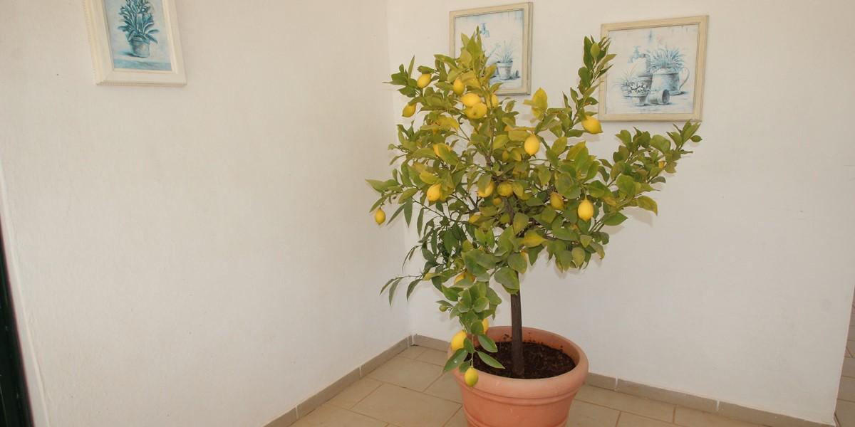 Trullo Iris Lemon Tree